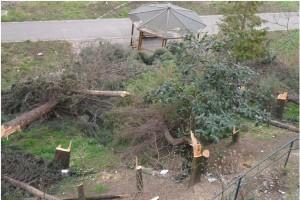 taglio-alberi-alvanite1